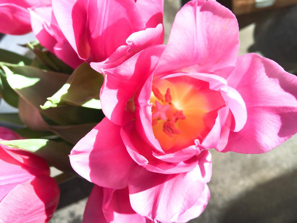 tulips-closeup