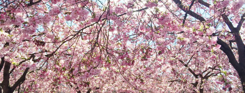 cherry-tree-feature