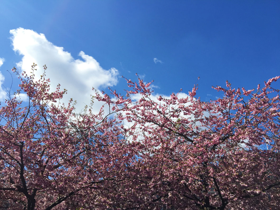 sky-cherry-tree