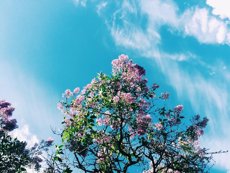 lilac-tree