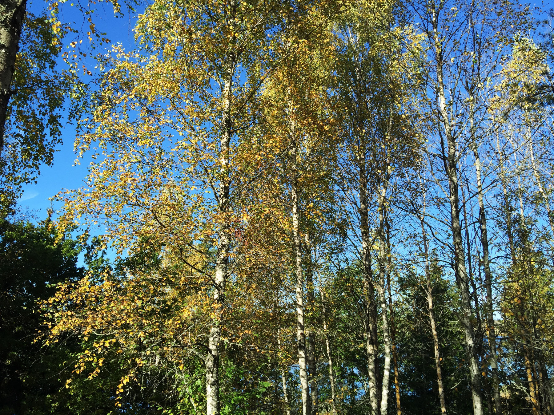 birch-trees-surahammar-life-coach-autumn