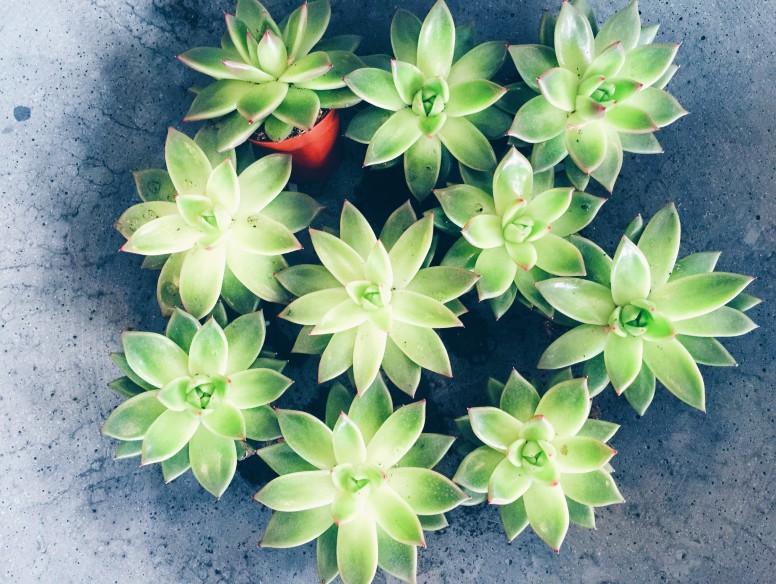 succulents plants