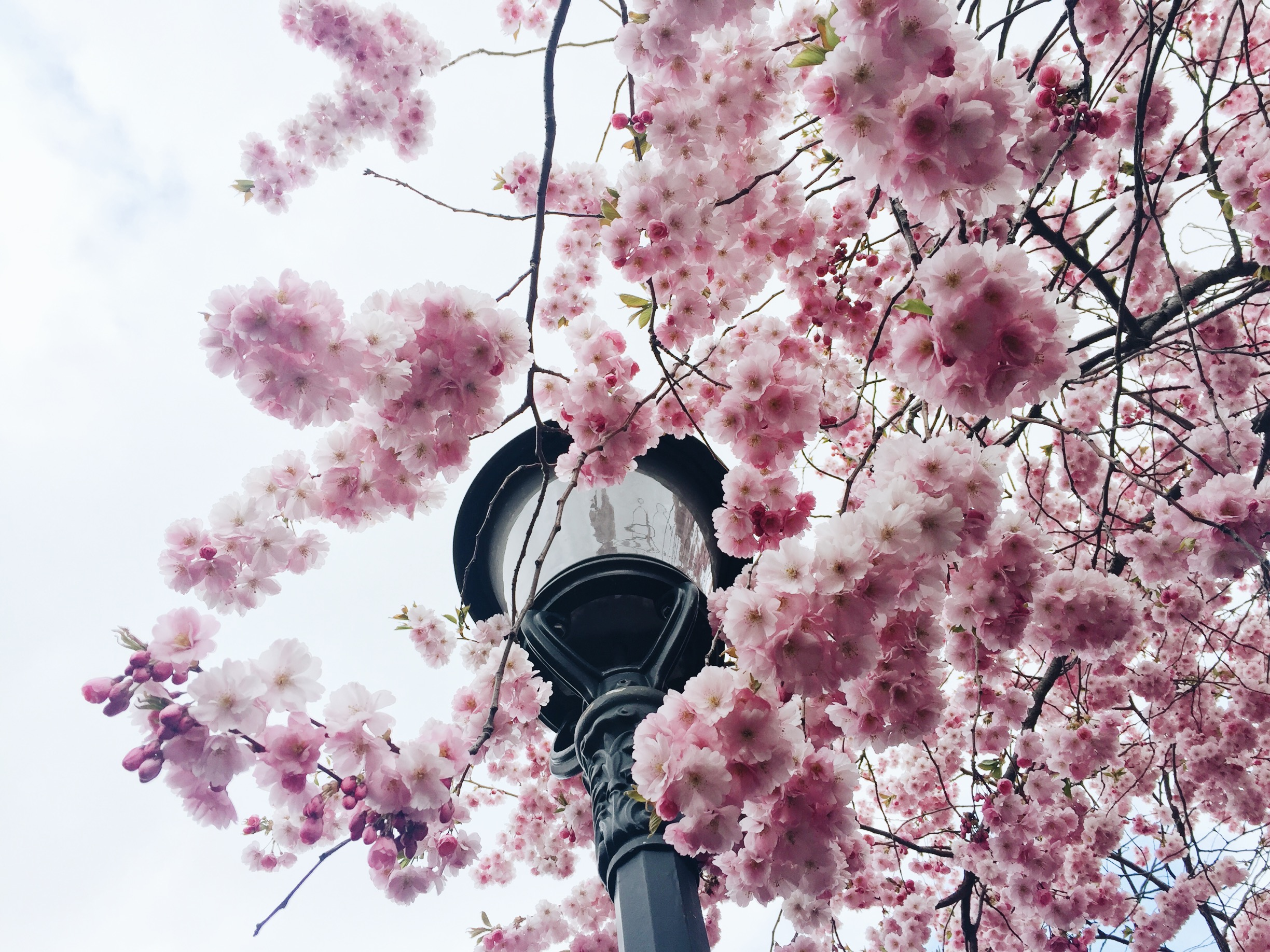 cherry blossoms spring stockholm