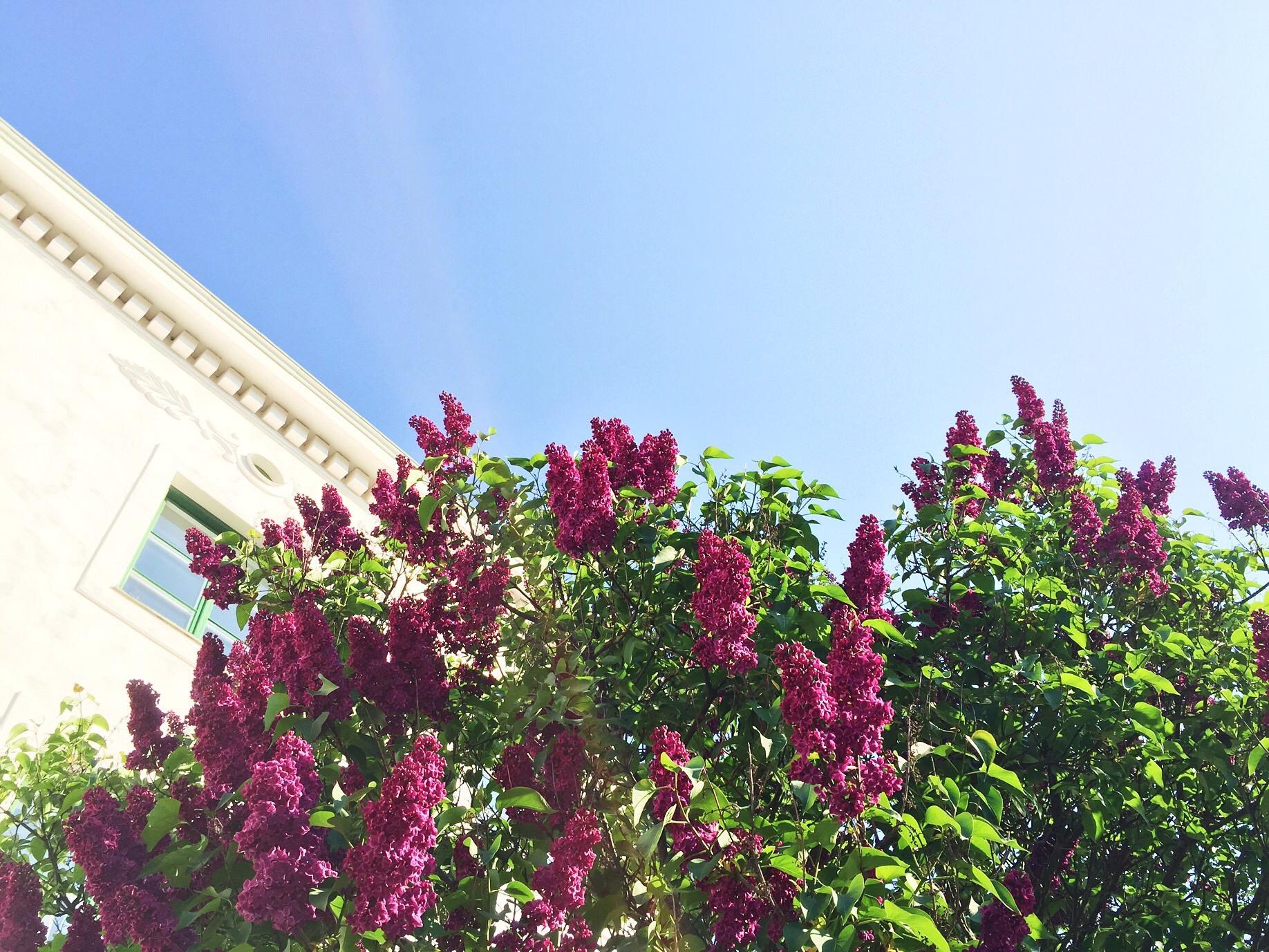 lilac tree spring