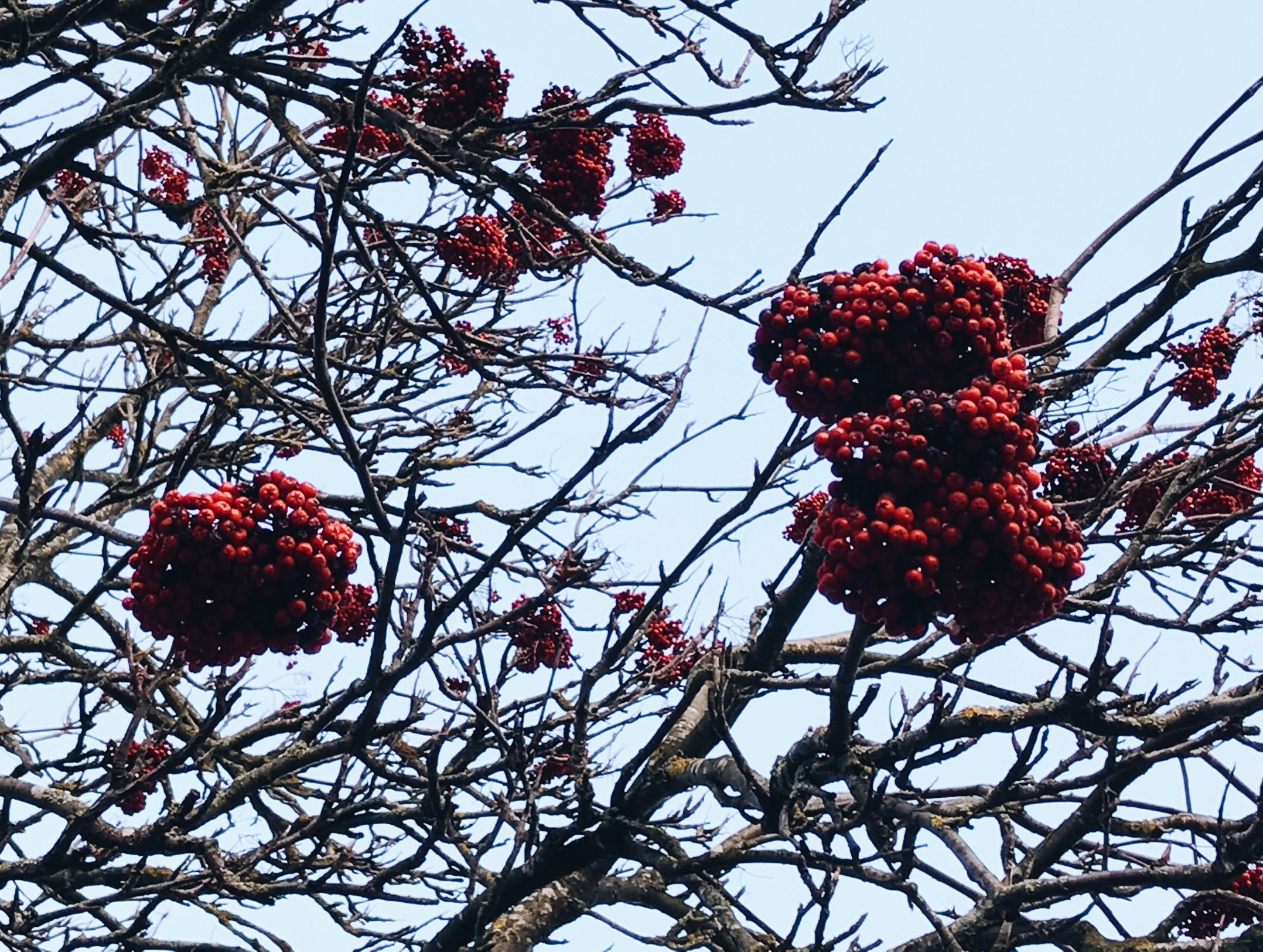 tree berries sky