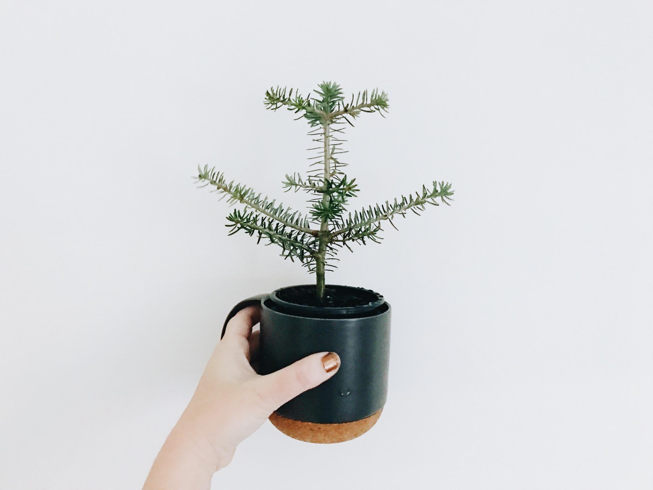 xmas christmas tree plant